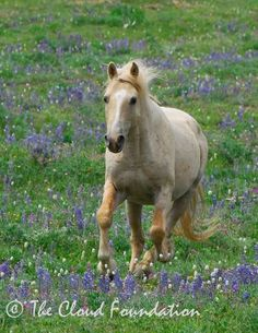 I love this horse!  Cloud is a herd stallion living in the Prior Mountains and he is a true ambassador to the humans of the US for the cause of saving the wild horses.