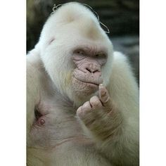 """THE WHITE GORILLA. SNOWFLAKE (c. 1964 – November 24, 2003) was an albino gorilla. He was the only known albino gorilla so far. He weighed 400 lbs. In 2011, Snowflake was featured on the Guinness World Records 2012 as a new record entry named """"Rarest Gorilla"""". The book also mentions that unlike other animals that suffer from albinism, Snowflake has blue eyes suggesting that he was a chinchilla albino, caused by the recessive gene mutant gene also found on white tigers."""