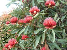 PlantFiles Pictures: Telopea Species, New South Wales Waratah, Waratah (Telopea speciosissima) by bootandall Plants, Garden, Terra Australis, Flora