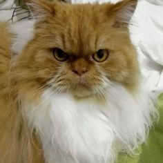Leo é um persa lindo.
