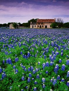 Marble Falls. I live right behind this house! Best bluebonnet field.