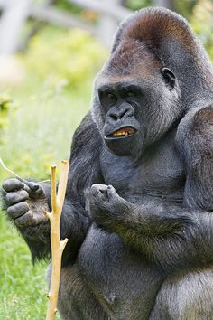 Another picture of one of the silverbacks eating. Silverback Gorilla, Chimpanzee, Orangutan, Big Animals, Save Animals, Cute Little Animals, Big Gorilla, Beautiful Creatures, Animals
