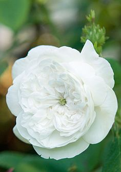 Madame Hardy Rose for Boutonniere