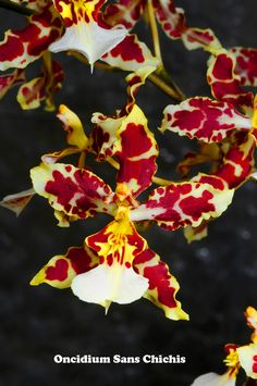 http://paramountorchids.com/jpg/Oncidium%20Sans%20Chichis.jpg The Orchidaceae are a diverse and widespread family of flowering plants, with blooms that are often colourful and fragrant, commonly known as the orchid family. Along with the Asteraceae, they are one of the two largest families of flowering plants. Wikipedia  Kingdom: Plantae Did you know: Orchid blossoms appear in almost every imaginable color except for true black. rainforest-alliance.org
