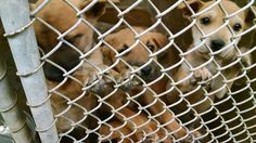 All of these dogs need rescues/fosters/adopters. Please message if you can help!!! The shelter is full and we have to move some dogs or they will have to put some to sleep. Please help us!!!  Odessa, Texas https://www.facebook.com/speakingupforthosewhocant/photos/pb.248355401855372.-2207520000.1415096538./868521619838744/?type=3&theater