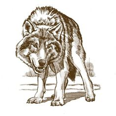 Wolf drawing.