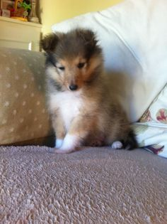 Cute Baby Animals, Animals And Pets, Cute Dogs, Cute Babies, All Breeds Of Dogs, Sheep Dogs, Shetland Sheepdog, Sheltie, Puppys