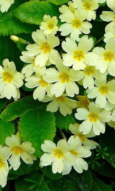 The native wild primrose, Primula vulgaris. Primrose means the first (prima) rose and is a wonderful, uplifting sight in Spring. Amazing Flowers, Yellow Flowers, Spring Flowers, Wild Flowers, Beautiful Flowers, Primroses, My Secret Garden, Plantation, Mellow Yellow