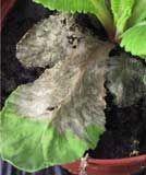 Enfermedades de arbustos y trepadoras