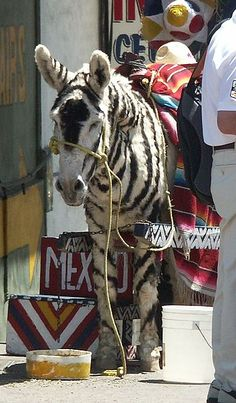"Tijuana, Mexico ""Tijuana Zebra"""