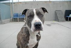 KILLED 06/06/14.  Rest in peace sweet one.      TO BE DESTROYED 6/6/14 Brooklyn Center  My name is BLUE. My Animal ID # is A1000037. I am a neutered male br brindle and white pit bull mix. The shelter thinks I am about 3 YEARS old.  I came in the shelter as a OWNER SUR on 05/16/2014 from NY 11422, owner surrender reason stated was OWNER DIED.   https://www.facebook.com/photo.php?fbid=809565452389669set=a.611290788883804.1073741851.152876678058553type=3theater