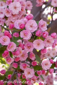 Blossoms of a Crab apple tree  I have a tree with these gorgeous blossom's. Like tiny roses.
