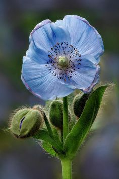 Himalayan Blue Poppy Photograph - Himalayan Blue Poppy Flower And Buds by Susan Candelario Blue Bell Flowers, Blue And Purple Flowers, Rare Flowers, Flowers Nature, Beautiful Flowers, Poppy Flowers, Flower Petals, Flower Crown, Flower Sleeve