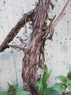 Drueranker i hagen må stelles pent og beskjæres. Pergola, Plants, Fantasy, Compost, Cold, Outdoor Pergola, Plant, Planets