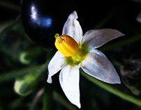Maria-Preta - Solanum