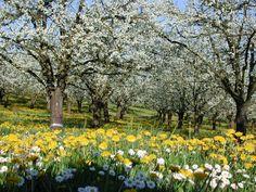 Pruniers en fleurs Lot Et Garonne, Prunier, Paysage France, Cartes  Postales, Tourisme f530e2ced22