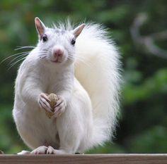 Brevard white squirrel.