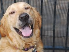 This is Wilson approx 6 years old. He was found as a stray. He suffers from allergies and needs special food, allegry shots and an antihistamine. He is neutered, potty trained, has good house manners, walks well on leash and rides well in a car. Wilson is a sweet boy who is looking for a forever home and is at GRRACE in Indiana.