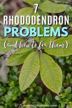 Learn the common types of Rhododendron problems and diseases that may be causing this normally care-free shade plant to be unhealthy and how to fix them. Rhododendron Problems, Rhododendron Care, Common Garden Plants, Garden Plants Vegetable, Shade Loving Shrubs, Popular House Plants, Perennial Ground Cover, Plants Under Trees, Low Maintenance Plants