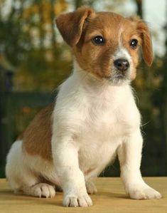 Perro Fox Terrier, Jack Terrier, Parson Russell Terrier, Terriers, Cute Baby Puppies, Cute Dogs, Dogs And Puppies, Yorkie Puppies, Chien Jack Russel