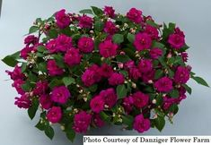 Top quality annual plants delivered to your doorstep. Purple Plants, White Plants, Double Impatiens, Sweet Potato Plant, Shade Annuals, Easy Waves, Plants Delivered, Annual Plants, Plant Sale