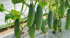 Growing Veggies, Growing Tomatoes, Raised Garden Beds, Raised Beds, Zucchini Plants, Cucumber Plant, Garden Angels, Green Fruit, Vegetables