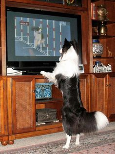 Border Collie watching sports on TV.....