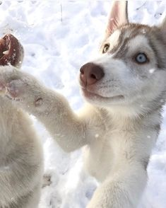 698624f2 6520 Best Siberian Huskies. My true passion ! images in 2019 ...