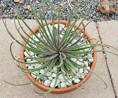 Aloe pronkii