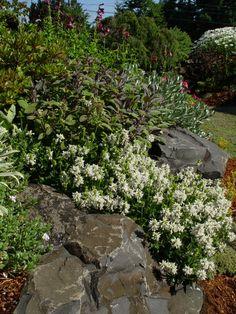 Stachys densiflora Alba