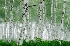 白樺の群生地として知られる八千穂高原。自然園では約28ヘクタールの園内に遊歩道が整備され、大自然の中をゆっくりと散策することができます。白樺の若葉が萌える新緑の季節がおすすめです。