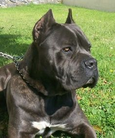 Although iv got a presa canario which is close enough :) Beautiful Dogs, Animals Beautiful, Canis Lupus, Presa Canario, Cane Corso Dog, Huge Dogs, Bully Dog, Real Dog, Terrier
