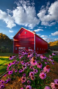 A lovely fire-engine red Wisconsin barn stands majestically beneath a blue summer sky while echinacea bloom vibrantly in the foreground.