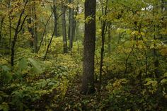 Upland Hoosier forest may have American Beech, Tulip Tree, Sugar Maple, and Black Walnut. Various oak species were common throughout, including in dry and wet forests.