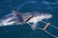 https://flic.kr/p/ADQkB9 | Delfin oscuro  - Dusky dolphin 2 | Delfin oscuro  - Dusky dolphin  Lagenorhynchus obscurus in front of the city of Puerto Madryn