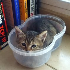 Kitten hiding in the salad container