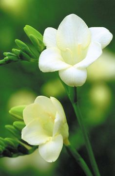 20/02/2014 I treated myself to a bunch of white freesias today. I love this flower, especially white ones. The scent is just heavenly