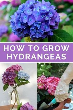 Want to know HOW TO GROW HYDRANGEAS for beautiful blooms? Discover WHERE, WHEN HOW to plant them how to care for hydrangeas for healthy beautiful flowers. Learn how to prune, change the colour, fertilize make cut hydrangea flowers last longer. Tips, ph Hortensia Hydrangea, Hydrangea Care, Hydrangea Flower, Hydrangea Bush, Growing Flowers, Planting Flowers, Growing Plants, Growing Hydrangea, Flowering Plants