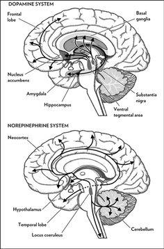 Where neurotransmitter chemicals dopamine and neurepinephrine go in the brain.