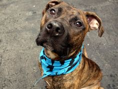 Manhattan Center SHERROD - A1033638 MALE, BR BRINDLE, PIT BULL MIX, 2 yrs STRAY – STRAY WAIT, NO HOLD Reason STRAY Intake condition UNSPECIFIE Intake Date 04/19/2015