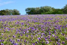 Violet field Tsubaki hana Gaden, Oshima Island, Tokyo Islands http://tokyoislands.jp/tsubaki-hana-garden-en