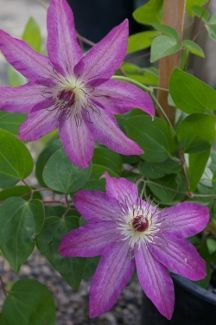 """Clematis 'Haru Ichiban' -  The texture of the flowers is somewhat mottled in appearance as if they were made of a more porous fabric. The veining and the paler central bar is accentuated by the downward slope of the sepals making the flowers look as if they were about to take flight. The white filaments are a fine contrast with their red anther tips. Individual flowers are 3 to 4 inches in width. The name translates to """"first in spring."""" May and June; August and September.  6-7 ft."""