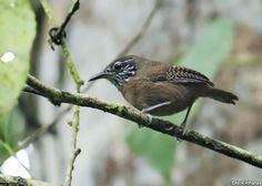 Stripe-throated Wren (Cantorchilus leucopogon) by Nick Athanas.