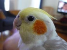 Awww looks like he is smiling! Happy cockatiel.