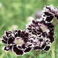 Heirloom 800 Seeds Dianthus caryophyllus Carnation Sweet William Double Mix Flower S043