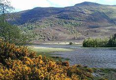 Gorse at Loch Morar, Scottish Highlands