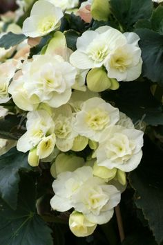 Begonia Double-flowered white Summer Flowering Bulbs, Perennial Flowering Plants, Perennials, Love Flowers, My Flower, White Flowers, Beautiful Flowers, Different Plants, Plant Species