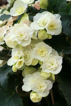 Begonia Double-flowered white