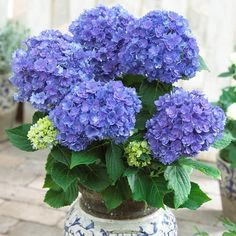 Buy hydrangea macrophylla (blue) - plant now from Indias largest online plant nursery at best price. Get a Free plastic pot with hydrangea macrophylla (blue) - plant plan Hydrangea Macrophylla, Hydrangea Shrub, Hydrangea Bloom, Limelight Hydrangea, Hydrangea Flower, Flower Pots, Planting Shrubs, Garden Shrubs, Planting Flowers
