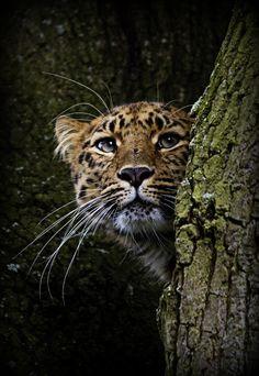 Female Amur Leopard - Marwell (by wendysalisbury)